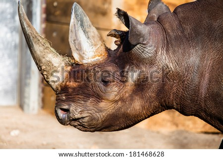 Black rhino head over blurred background. - stock photo