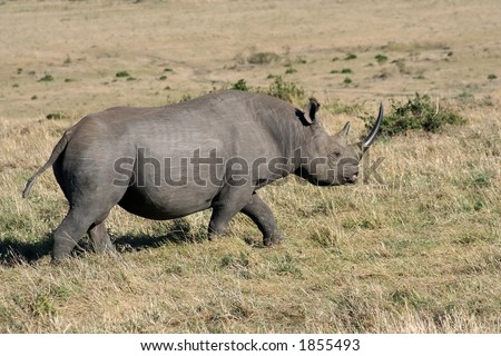 black rhino passing by our vehicle - stock photo