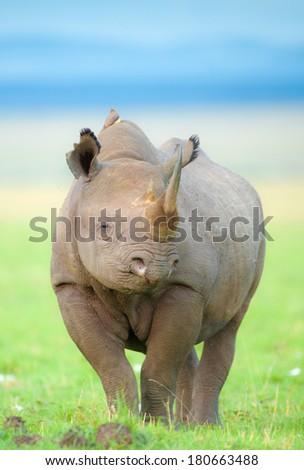 Black Rhino Portrait - stock photo
