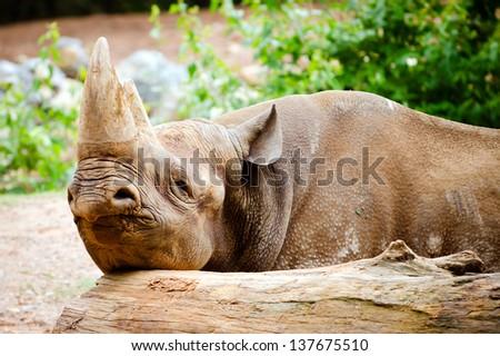 Black rhino resting its head on log - stock photo