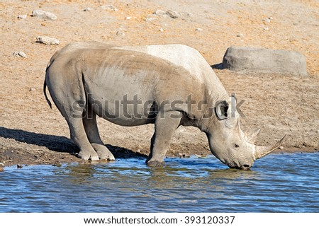 Black rhinoceros (Diceros bicornis) drinking at a waterhole in Etosha National Park, Namibia