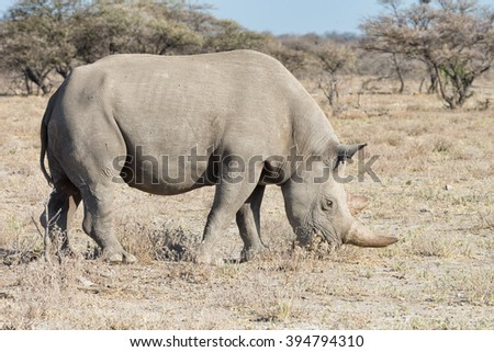 Black rhinoceros (Diceros bicornis) feeding in a dry environment in Etosha National Park, Namibia