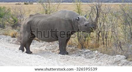 Black Rhinoceros (Diceros bicornis) feeding on leaves on the side of the road in Etosha National Park, Namibia
