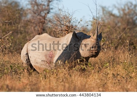 black rhinoceros, hook-lipped rhinoceros, diceros bicornis, Kruger national park, South Africa - stock photo
