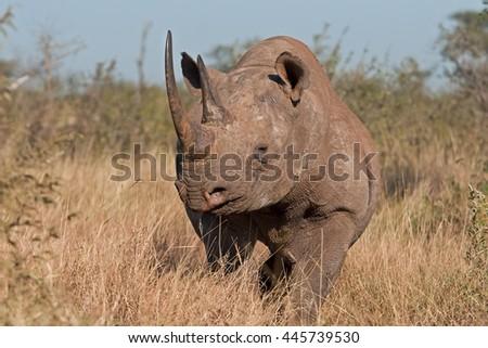 black rhinoceros, hook-lipped rhinoceros, diceros bicornis, Kruger national park, South Africa - stock photo