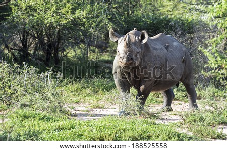 black rhinoceros one of the big five in kruger national park south africa - stock photo