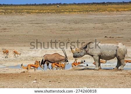 Black Rhinoceros Oryx and springbok on the Etosha Pan - stock photo