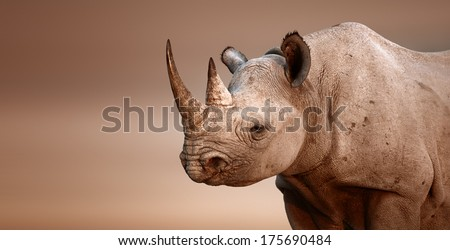 Black Rhinoceros portrait (Diceros bicornis) - Salt pans of Etosha National Park (Namibia) - stock photo