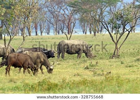 Black Rhinoceros with buffalo in the park Nakuru - stock photo