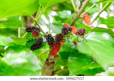 Black ripe and red unripe mulberries in the garden.