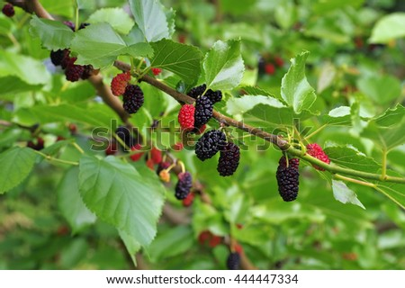 black ripe and red unripe mulberries on the tree - stock photo