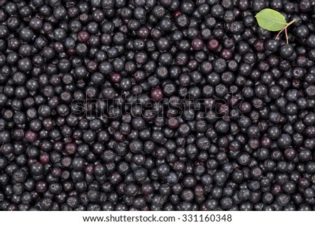 black ripe aronia (Aronia arbutifolia) as background