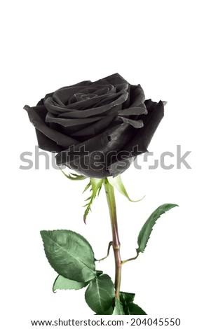 Black rose flower on white background - stock photo