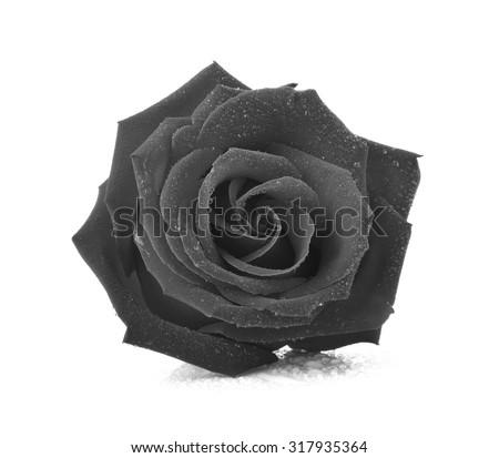 Black rose isolated on white background. - stock photo