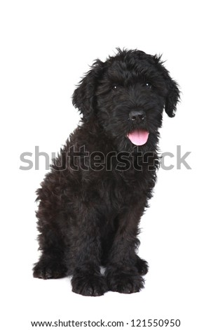 Black Russian Terrier Puppy Dog on White Background - stock photo