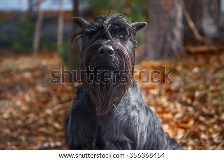 Black schnauzer (focus is on eye, not on nose. It was made for purpose.)