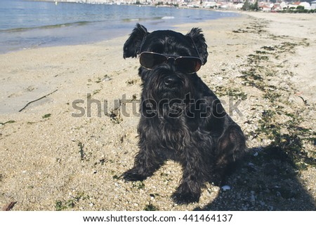 black schnauzer on the beach with sunglasses