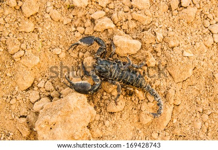 Black scorpion dirty on the earth ground.