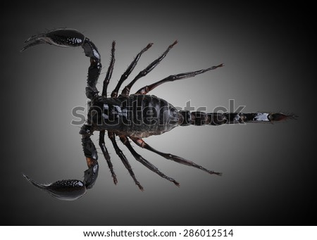 Black scorpion species palamnaeus fulvipes from Thailand isolated on gray background No shadow . This has clipping path. - stock photo