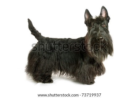 Black scottish terrier on a white background
