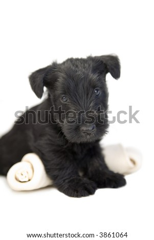 Black Scottish terrier pup standing over large rawhide bone isolated on white - stock photo