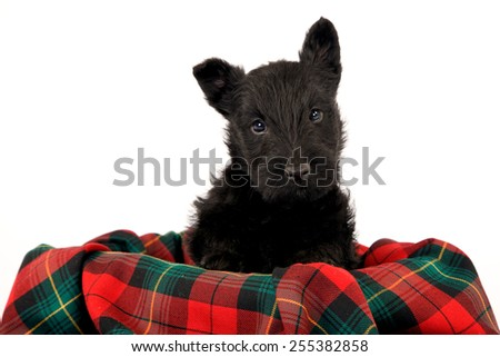 Black Scottish Terrier puppy dog sitting on red and green tartan check plaid blanket on white background  - stock photo