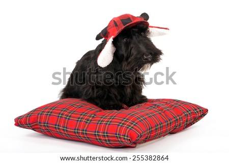 Black Scottish Terrier puppy dog sitting on red plaid tartan cushion on white background  - stock photo