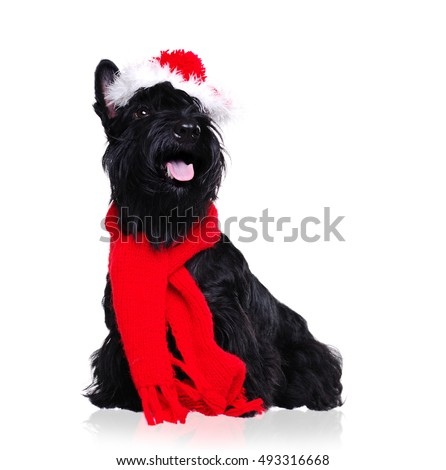 Black scottish terrier wearing christmas outfit