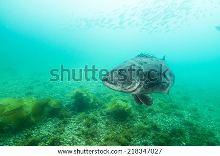 black sea bass (Centropristis striata) in Channel Islands, Ca