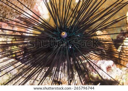 Black sea urchin (Arbacia lixula) on coral reef. - stock photo