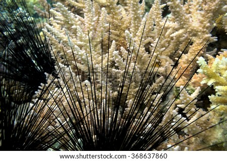 Black sea urchin (Arbacia lixula) on the sea floor - stock photo
