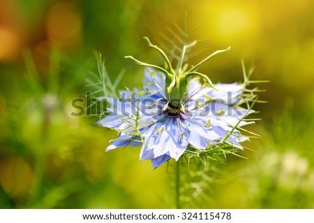 Black seed, Nigella sativa, purple blue flower - stock photo