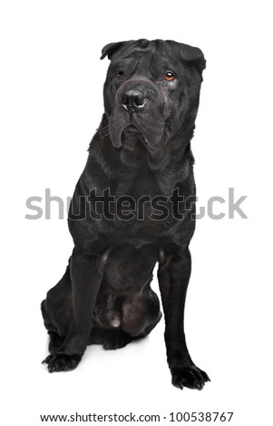 Black shar-Pei in front of a white background