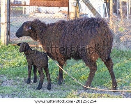Black sheep and lamb isolated over white background - stock photo
