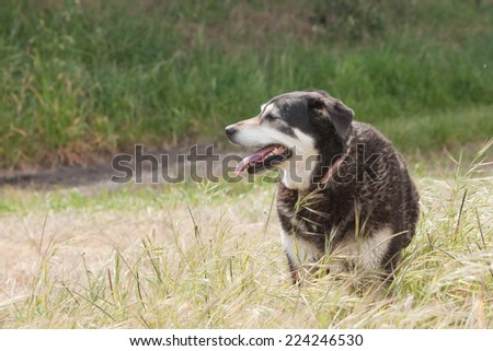 black sheep dog in a grassy field  - stock photo