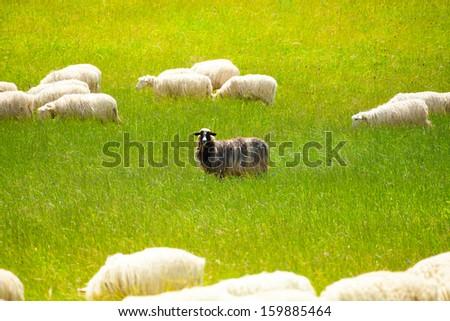 Black sheep in the herd of white animals - stock photo
