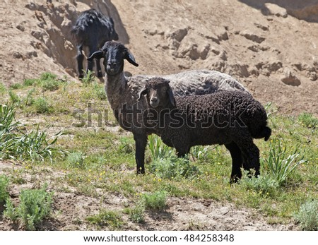 Black sheep on pasture