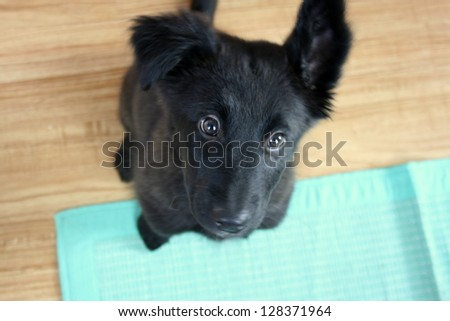 black Shepard puppy on turquoise mat
