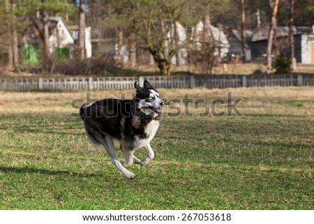 Black Siberian Husky is running fast with a stick in his mouth.  - stock photo