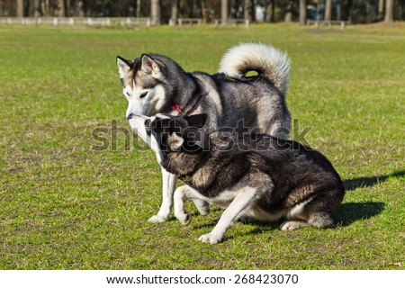 Black Siberian Husky is sniffing another dog. Both dogs are strolling on a green lawn.