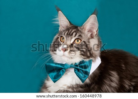 Black silver classic tabby bicolour Maine Coon on turquoise blue green background