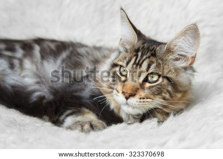Black silver tabby maine cone cat posing on white background fur
