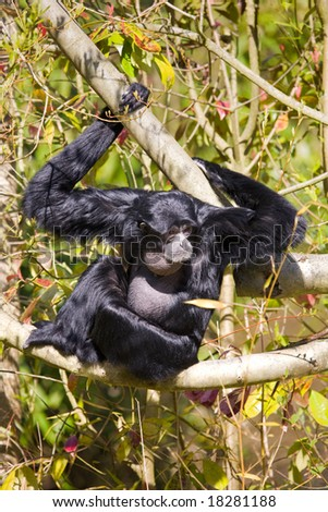 Black Singing Siamang sits in tree - stock photo