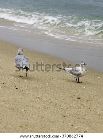 Black skimmer and a seagull / Rynchops niger  - stock photo