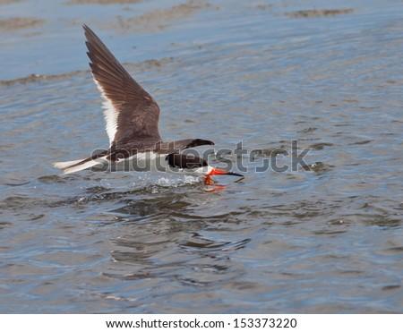 Black Skimmer (Rynchops niger) - stock photo