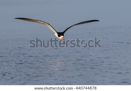 Black skimmer (Rynchops niger) flying with a caught fish over the ocean, Galveston, Texas, USA. - stock photo