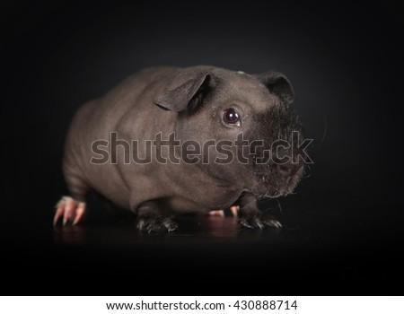 Black skinny guinea pig isolated on black background  - stock photo