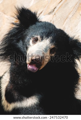 Black sloth bear - stock photo