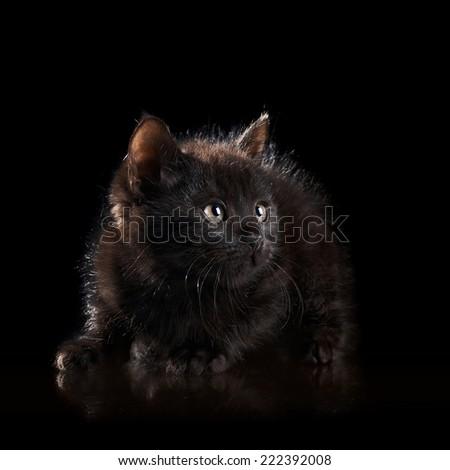 Black small kitten. Black on the black. Fluffy black kitten. Kitten on a white background. Small predator. Black kitty. Small cat. - stock photo