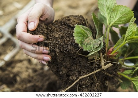 Black soil clod, roots and strawberry leafs in woman hands